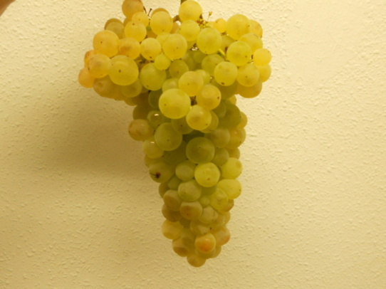 De septembre à Novembre :le raisin