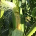 maïs en live